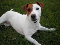 Glosse, chien Jack Russell Terrier