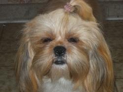 Glossy, chien Shih Tzu