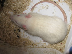 Glouton, rongeur Rat