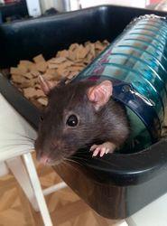 Glu, rongeur Rat