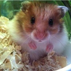 Glue, rongeur Hamster