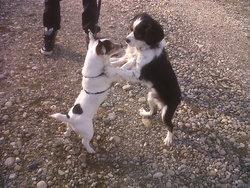 Gly, chien Épagneul breton