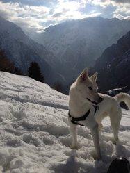 Gnaya, chien Husky sibérien