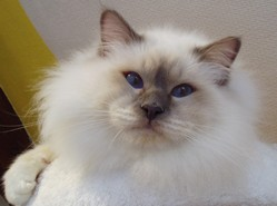 Gnocchi, chat Birman