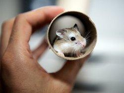 Gnochi, rongeur Hamster