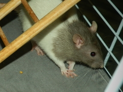 Gnoky, rongeur Rat