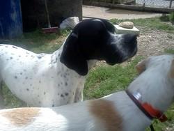 Goa, chien