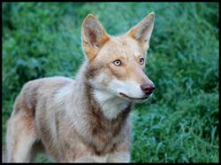Gobi, chien Chien-loup de Saarloos