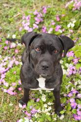 Godiva, chien Cane Corso