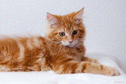 Godrick, chat Maine Coon