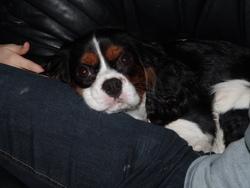 Godzi, chien Cavalier King Charles Spaniel