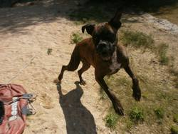 Goeth, chien Boxer
