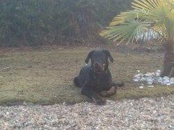 Goethe , chien Beauceron