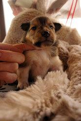 Gogo, chien Colley à poil long