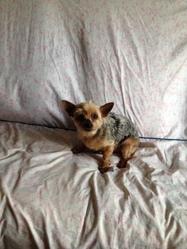 Gohias, chien Yorkshire Terrier