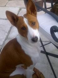 Goji, chien Basenji