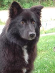 Goji, chien Berger australien