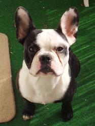 Gokû, chien Bouledogue français