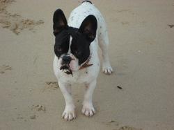 Golam, chien Bouledogue français