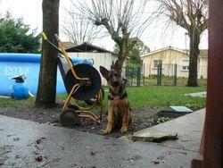 Golan, chien Berger allemand