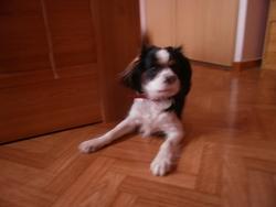 Golan, chien Cavalier King Charles Spaniel