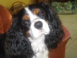 Golane, chien Cavalier King Charles Spaniel