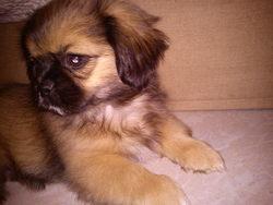 Golby, chien Épagneul tibétain