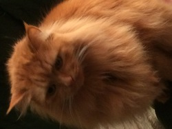Gold, chat Maine Coon