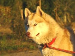 Gold, chien Husky sibérien