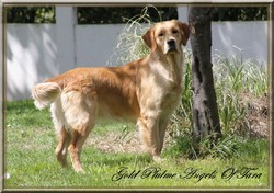 Gold Plume, chien Golden Retriever