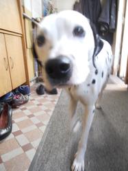 Golda, chien Dalmatien