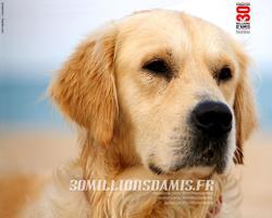 Golden, chien Golden Retriever
