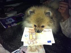 Golden Boy, chien Spitz allemand