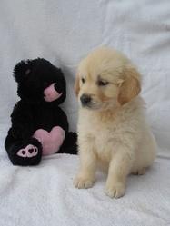 Golden Retriever, chien Golden Retriever