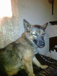 Goldie, chien Berger allemand