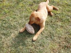 Goldie, chien Labrador Retriever