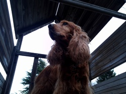 Goldie, chien Cocker anglais
