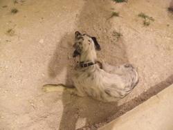 Goldorac, chien Setter anglais