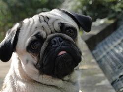 Goldorak, chien Carlin