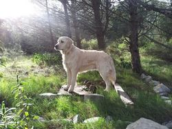 Goldy, chien Golden Retriever