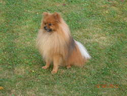 Goldy, chien Spitz allemand