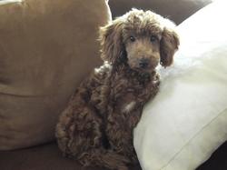 Goldy, chien Caniche