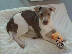 Golfinho, chien Terrier brésilien