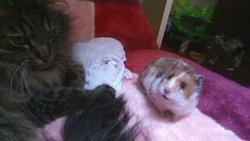 Golgozore , rongeur Hamster