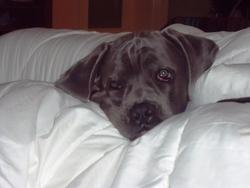 Goliat, chien Cane Corso