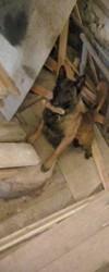Goliath, chien Berger belge