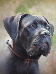 Goliath, chien Cane Corso