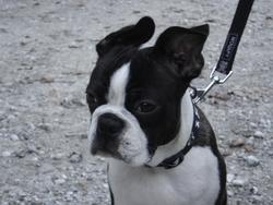 Goliath, chien