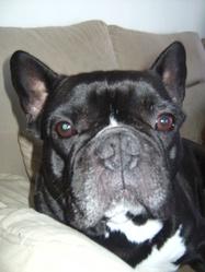 Goliath, chien Bouledogue français
