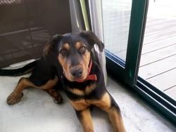Goliath, chien Beauceron